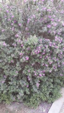 salt bush